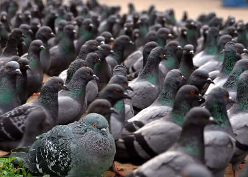 pigeons on pilgrim hill