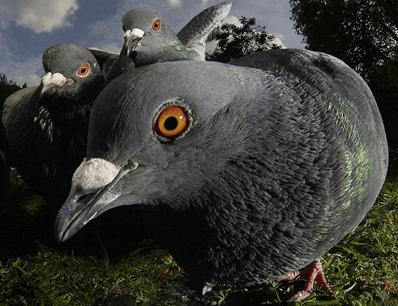 pigeons up close interview