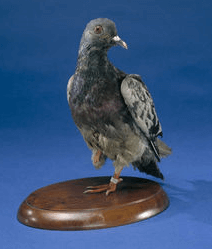 stuffed pigeon cher ami